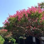 夏の花サルスベリ