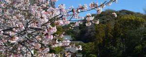 鶴ヶ岡八幡宮 桜
