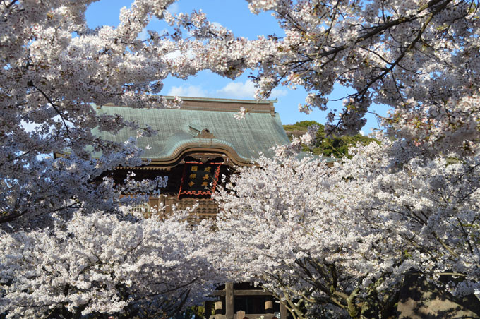 建長寺 桜
