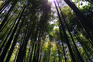 鎌倉の竹林。報国寺