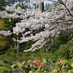 円覚寺 桜