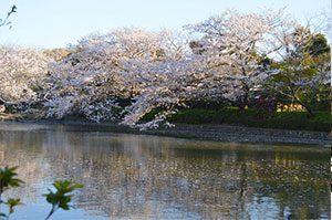 桜の鶴岡八幡宮