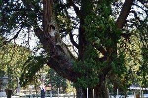 鎌倉 巨木