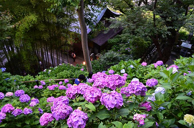 鎌倉のあじさいの名所 ベスト3 長谷寺
