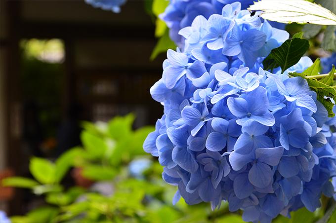 鎌倉のあじさいの名所ベスト5