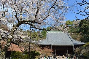 桜と妙本寺