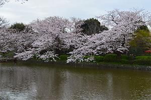 鎌倉 桜 絶景