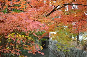 紅葉の鶴岡八幡宮