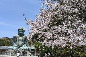 満開桜の鎌倉大仏